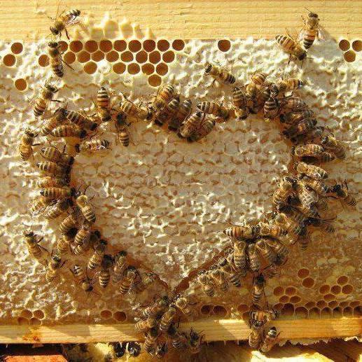 abeilles coeur