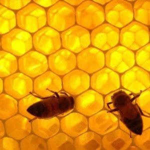 Alvéoles abeilles