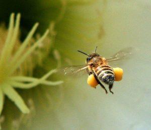 abeille vole