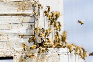 abeilles-et-ruche