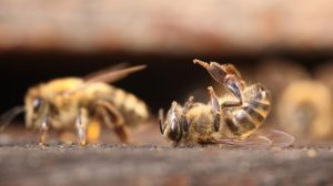 abeilles-pesticides