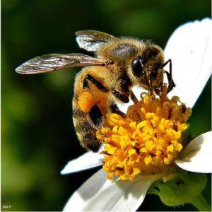 abeille-butine2