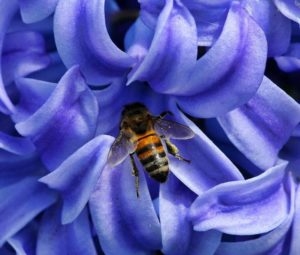 abeille-fleur-bleue