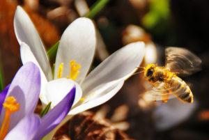 abeille fleur pollen