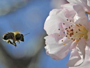 abeille-pollinisation