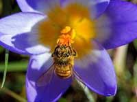 abeille-fleur2
