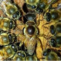 reine-abeilles