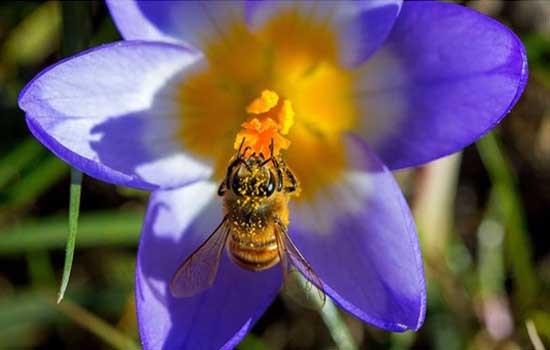 Bee collect pollen on a crocus